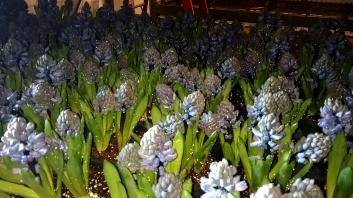 """6.5"""" Blue Hyacinth"""