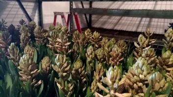 "6.5"" Pink Hyacinth"