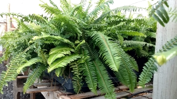 Gal. Kimberly Queen Fern