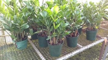 """6"""" ZZ Plant"""