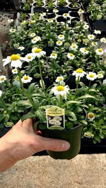 """4.5"""" Leucanthemum"""
