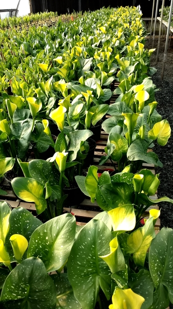 "6.5"" Yellow Calla"