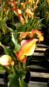 "6.5"" Yellow/Red Calla"