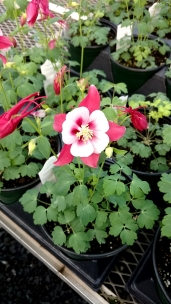 "Gallon Aquilegia ""Cardinal Red"""