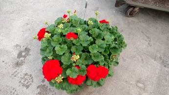 Red Geranium HB