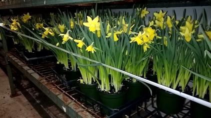 """6.5"""" Daffodil"""