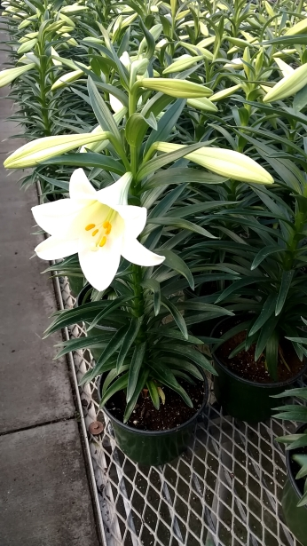 "6.5"" Single Easter Lily"