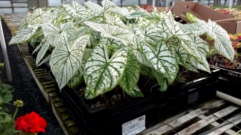 "6.5"" Caladium ""White Christmas"""