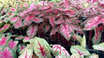 "6.5"" Caladium ""Carolyn Whorton"""