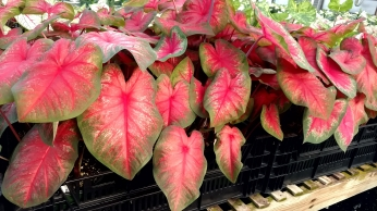 "6.5"" Caladium ""Tequila Sunrise"""