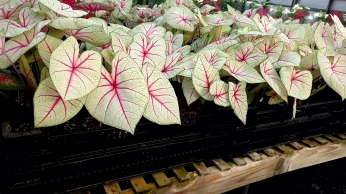 "6.5"" Caladium ""White Queen"""