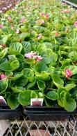 606 (36ct) Begonias