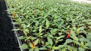 Scorpian Peppers