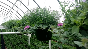"10"" Lobelia/Petunia/Verbena"