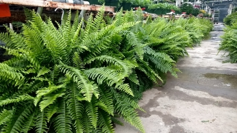 "10"" Boston Ferns"