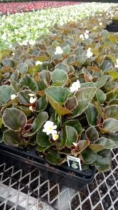 606 Begonia