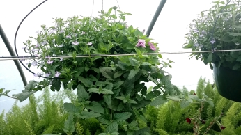 "10"" Petunia/Lobelia/Verbena"