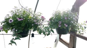 "Verbena/Petunia/Lobelia 10"" HB"