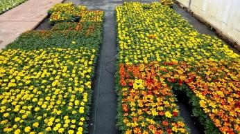 606 Marigold