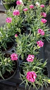 """4.5"""" Dianthus"""