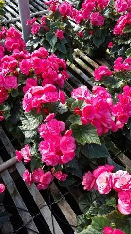 """6"""" Begonia"""