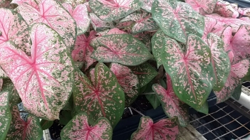 "4"" Shuttle Caladium 'Pink Beauty'"