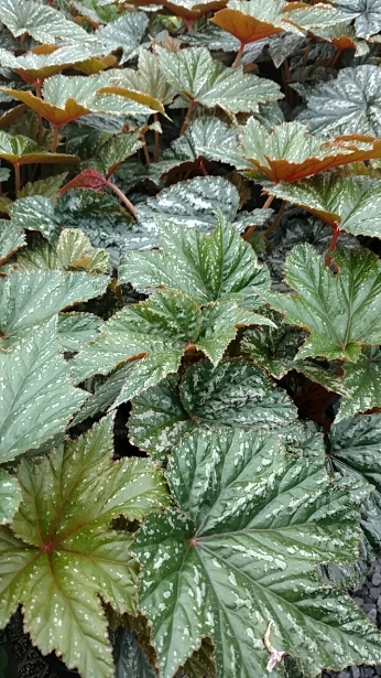 "4.5"" Gryphon Begonia"