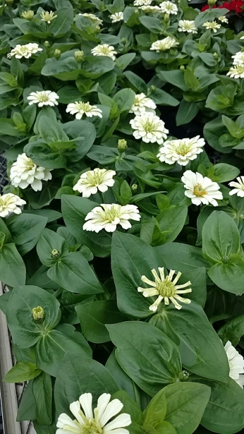 "4.5"" Zinnia Burpee Wedding White"