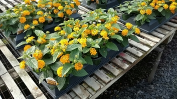 "4.5"" Lantana Pot of Gold"