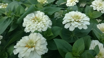 "4.5"" Zinnia Wedding White"