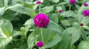 "4.5"" Purple Gomphrena"