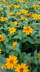 "4.5"" Yellow Zinnias"