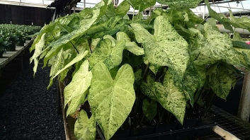 "4"" Caladium Shuttle Trays"