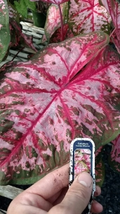 "6.5"" Caladium 'Carolyn Whorton'"