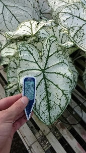 "6.5"" Caladium 'White Christmas'"