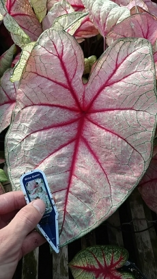 "6.5"" Caladium 'White Queen'"