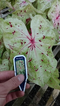 "6.5"" Caladium 'Miss Muffet'"