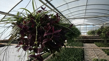 Wandering Jew/Spider Plant Mix HB