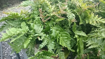 "4"" Autumn Fern"