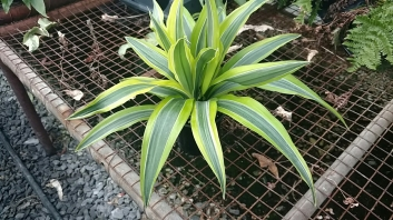 "4"" Dracena Lemon Lime"