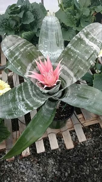 """6"""" Bromeliad, Silver Urn"""