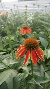 """4.5"""" Echinacea, Prairie Sun"""