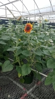 "8"" Sunflower"