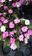 Gallon Impatiens