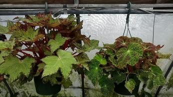 Rhizzo Begonia HB