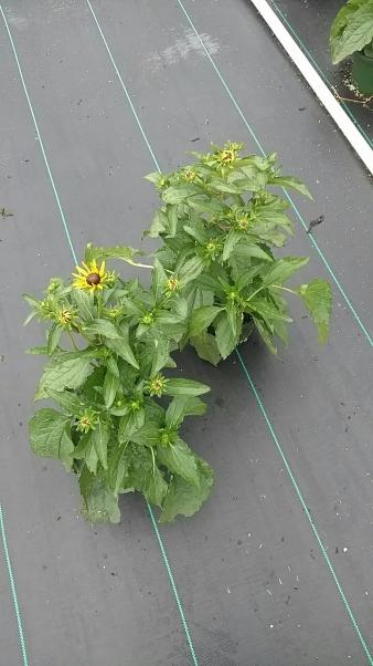 "6.5"" Perennial Rudbeckia ""Goldsturm"""