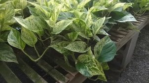 "6"" Pothos Green/White"