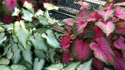 Caladiums - White Wing (L), Sweetheart (R)