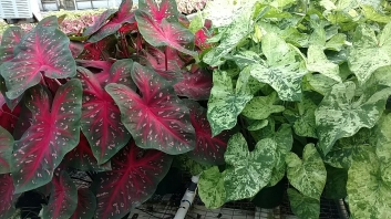 Caladiums - Red Flash (L), Frog in a Blender (R)