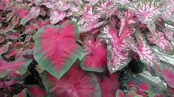 Caladiums - Freda Hemple (L), Carolyn Whorton (R)